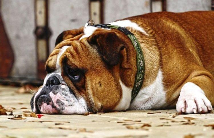 Грустный пес лежит