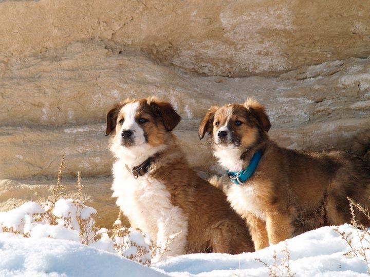 два щенка английской овчарки