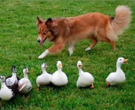английская овчарка пасет гусей