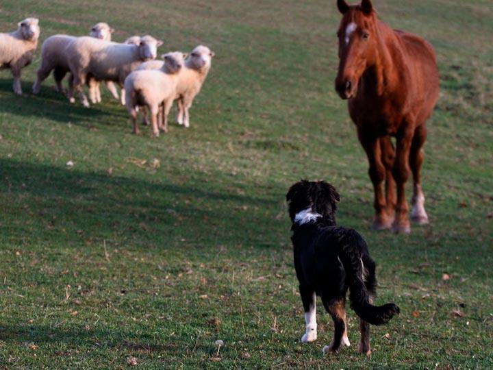 английская овчарка на ферме