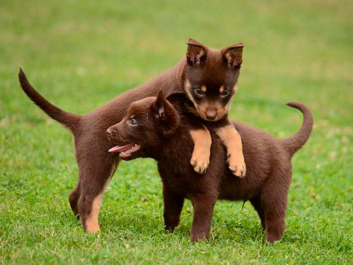 сколько стоит щенок австралийский келпи