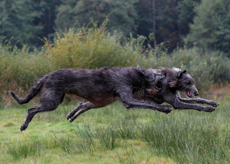 ве собаки породы Дирхаунд