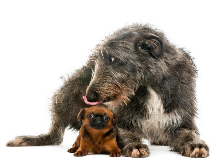 собака породы Дирхаунд