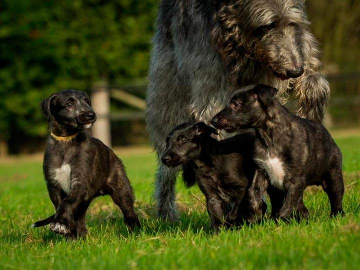 Дирхаунд со щенками