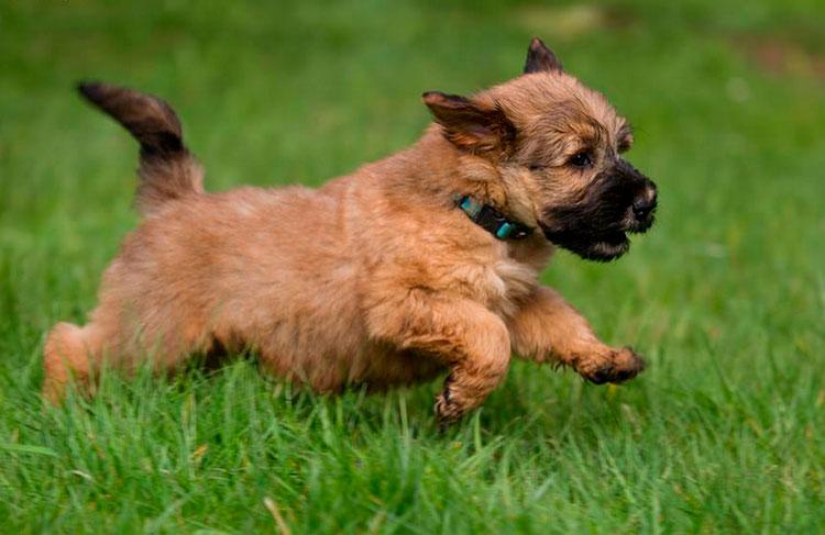 ирландский мягкошерстный пшеничный терьер щенок