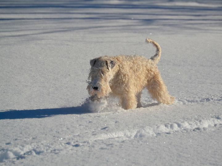 ирландский мягкошерстный пшеничный терьер в снегу