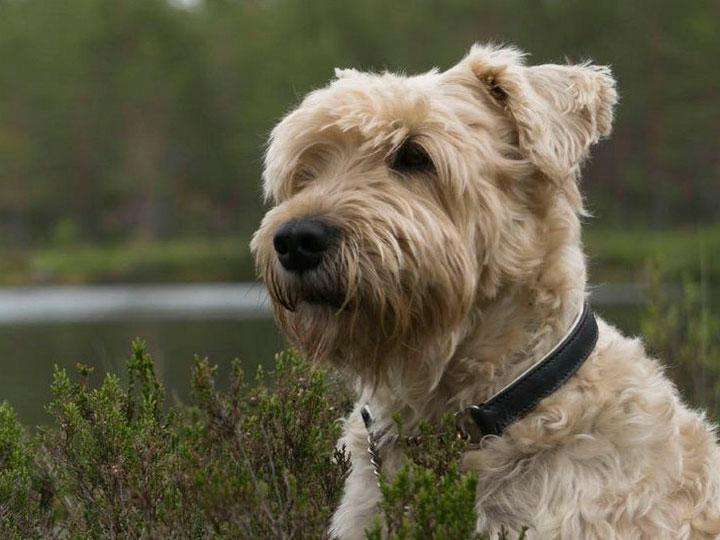 собака ирландский мягкошерстный пшеничный терьер
