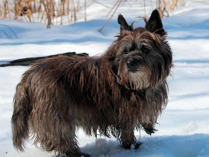 Керн-терьер в снегу