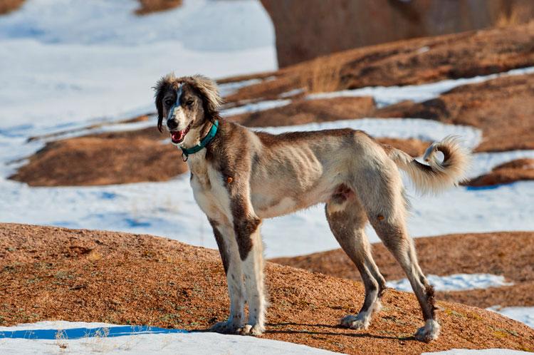 собака породы тазы