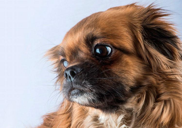 порода собак Тибетский спаниель
