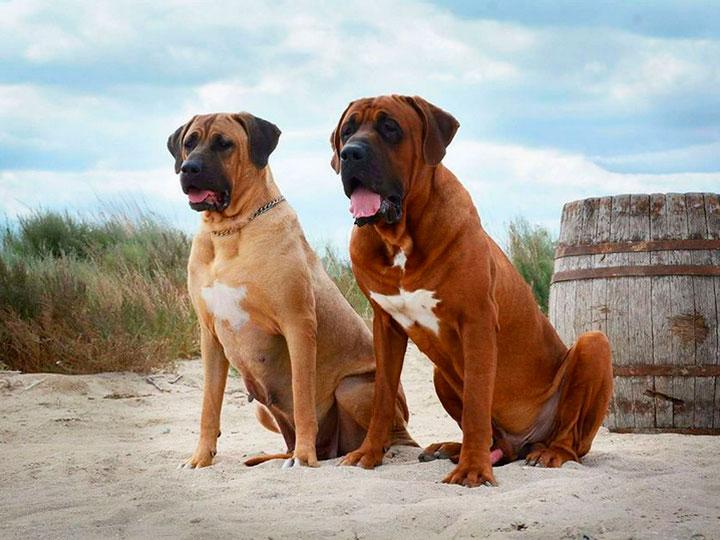две собаки породы тоса ину