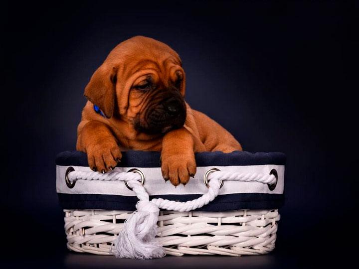 щенок тоса ину 1,5 месяца