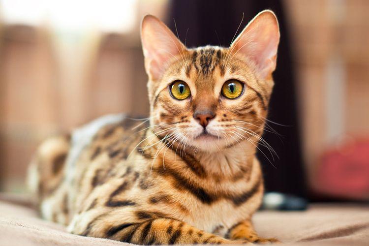 Красивая кошка с желтыми глазами