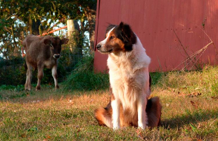 Порода собак английская овчарка