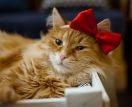 Рыжий кот с бантом на голове