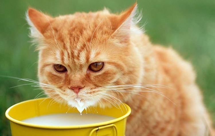 Рыжий кот пьет молоко