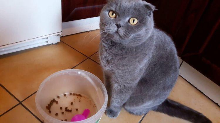 Кошка британка у миски