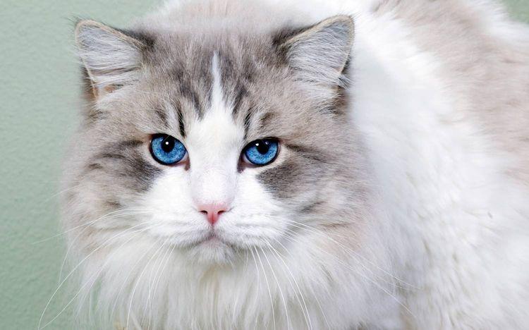 Голубоглазая кошка охос азулес