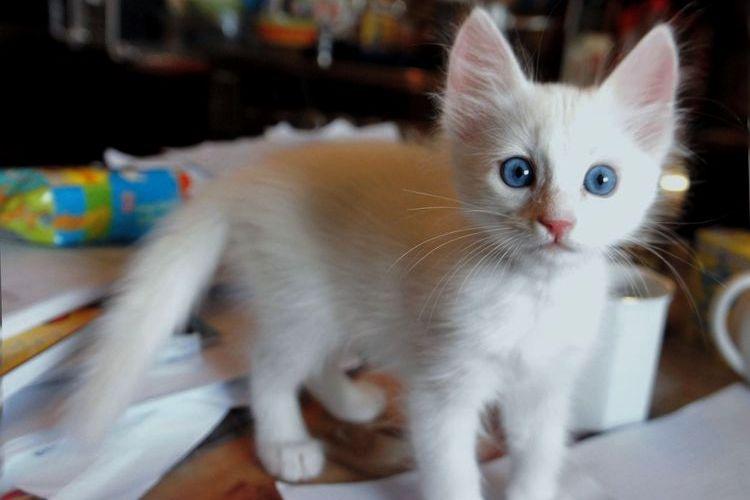 Голубоглазый котенок турецкой ангоры