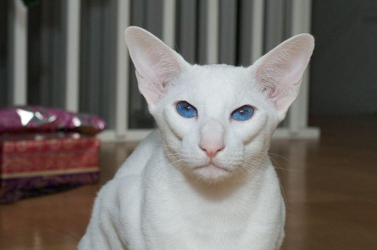 Ориентальная короткошерстная кошка с голубыми глазами