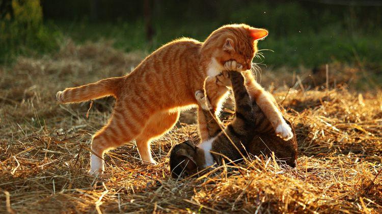 Коты дерутся друг с другом