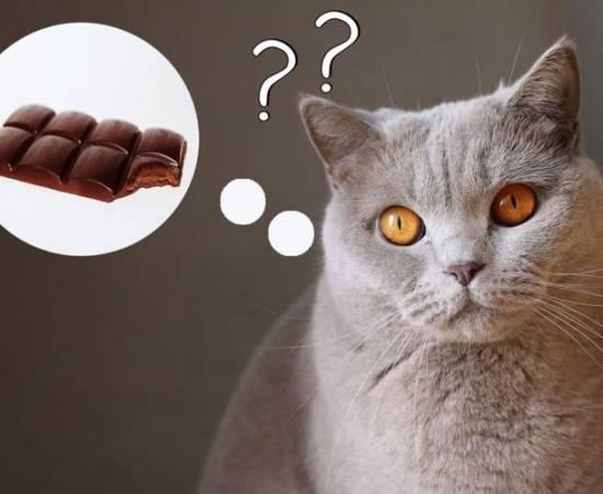 Кошка думает о шоколаде