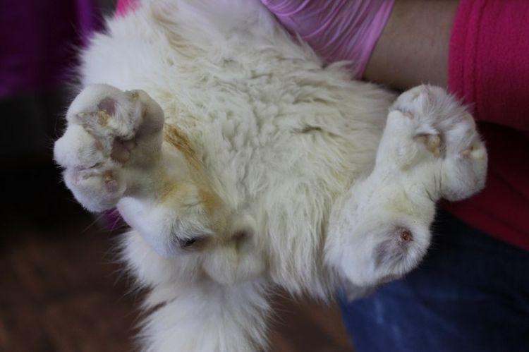 Фото остеохондродисплазии у шотландской кошки