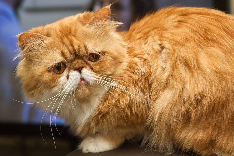 Милый рыжий персидский кот