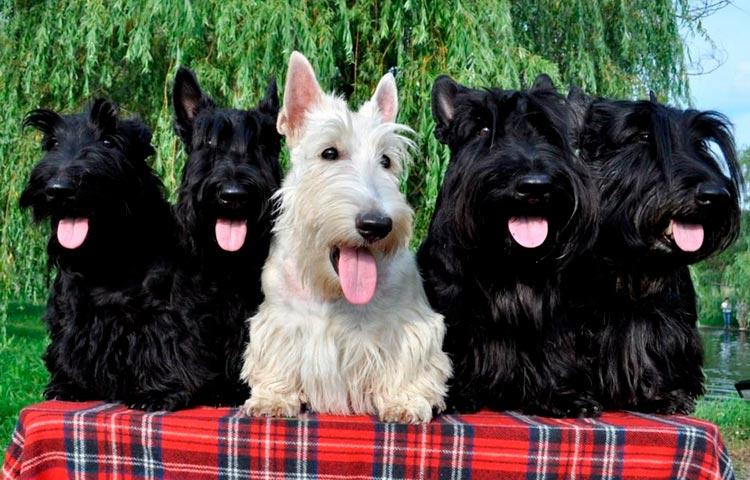 собаки породы Скотч-терьер