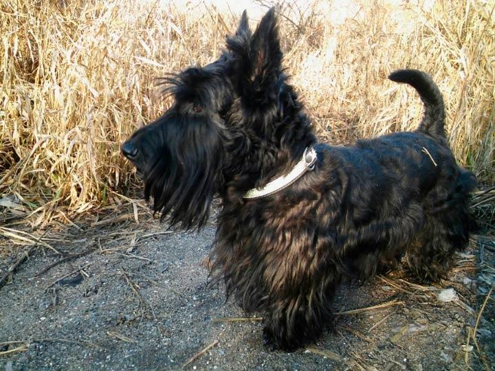 собака породы Шотландский терьер