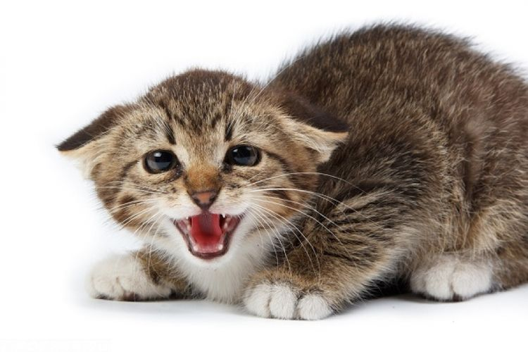 Кошка в стрессе