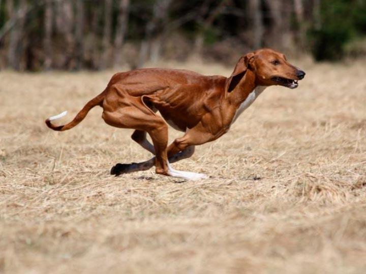 азавак бежит