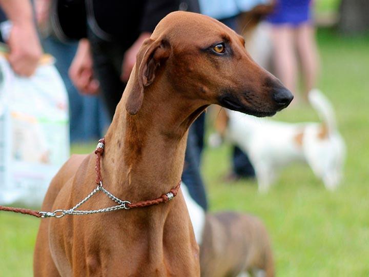 порода собак азавак