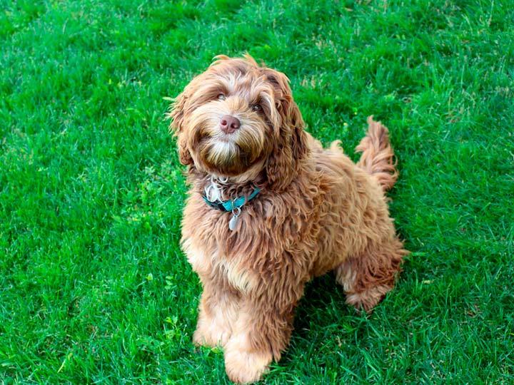 собака-поводырь - коббердог