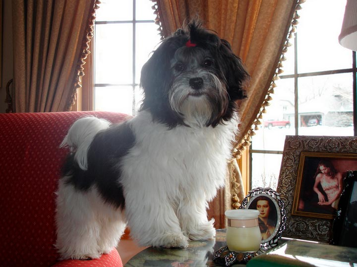 порода собак гаванский бишон