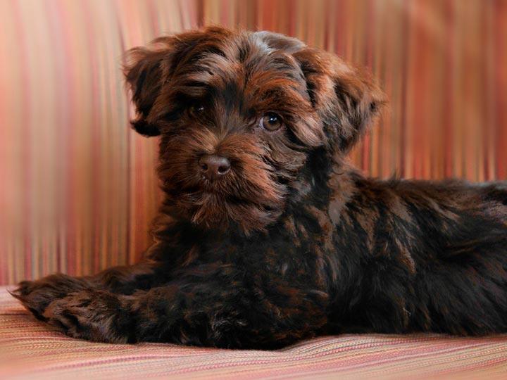 шоколадный щенок гаванский бишон