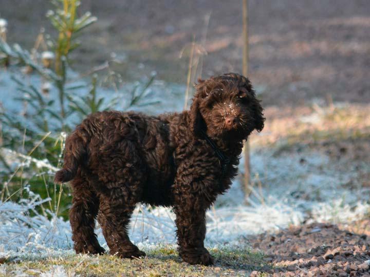 собака породы лабрадудль