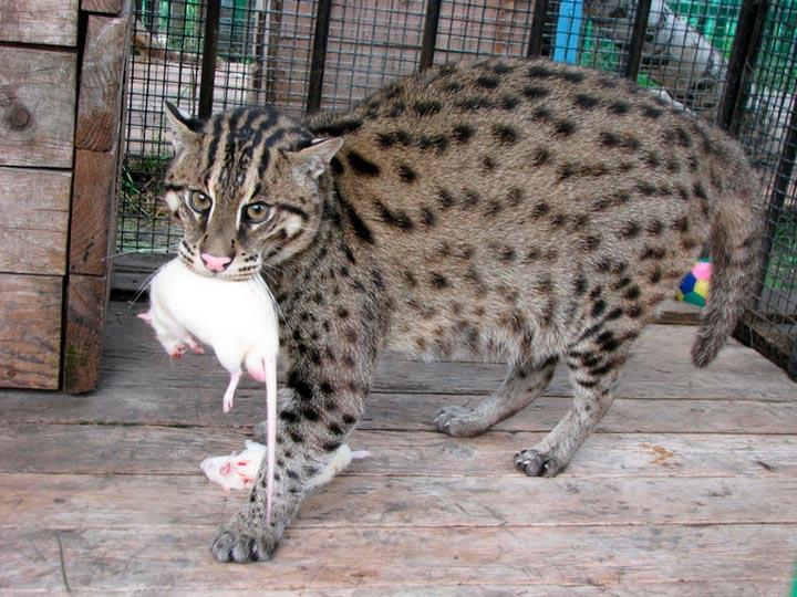 Виверровый кот-рыболов с крысой