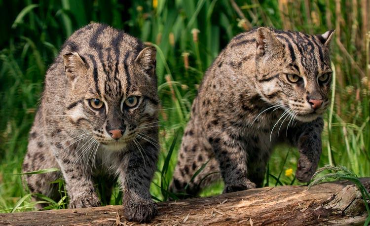 два Виверровых кота-рыболова