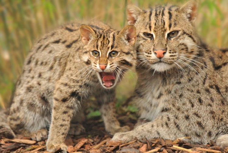 Виверровая кошка-рыболов с котенком