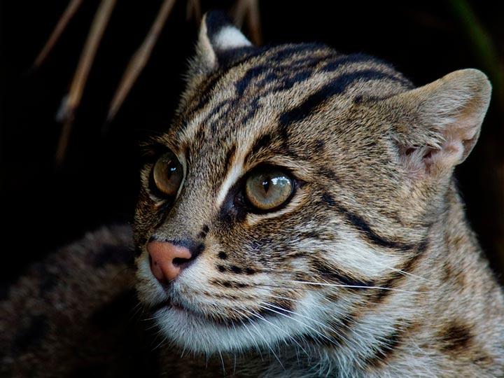 Виверровый кот-рыболов фото