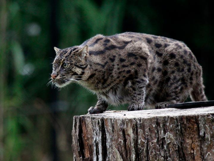 Виверровый кот-рыболов в природе