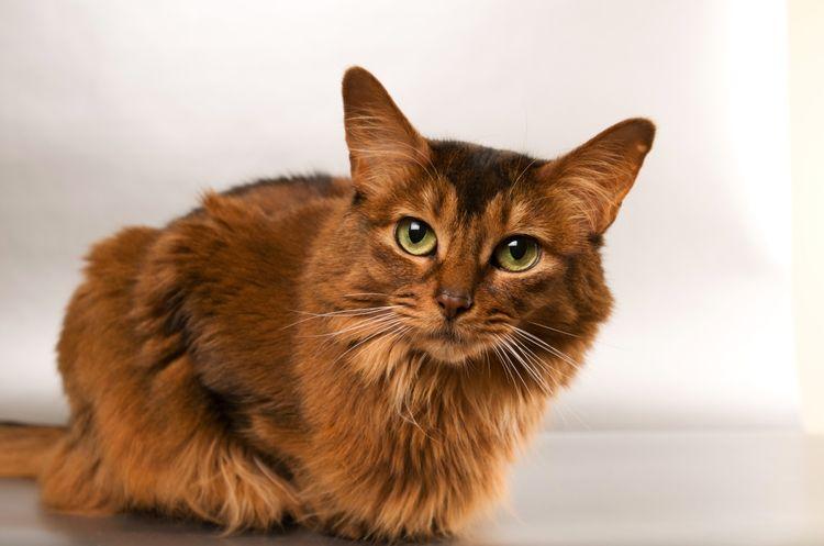 Герпес  основное респираторное заболевание кошек