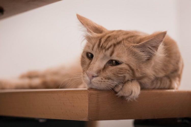 Хпн у кошек запах