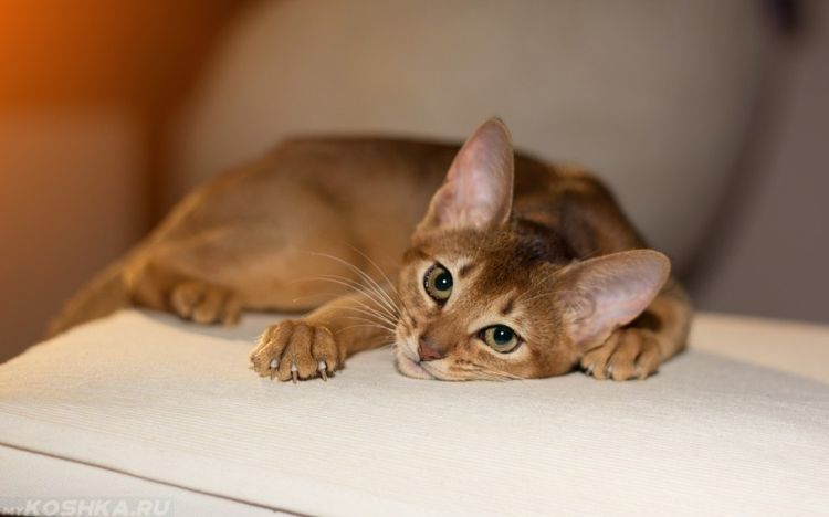 Апатия у кота