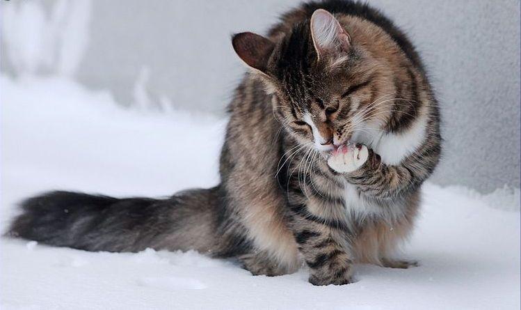Серый кот умывается