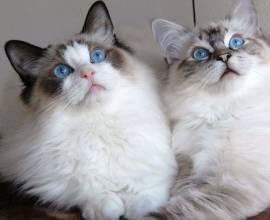Глубоглазые кошки