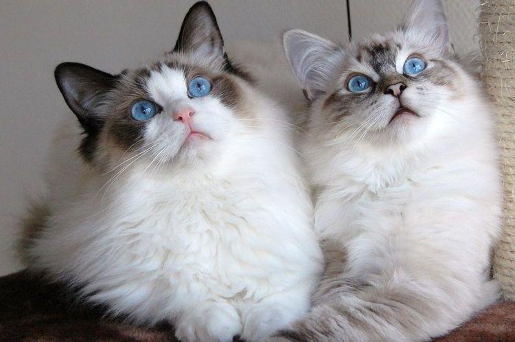Голубоглазые кошки