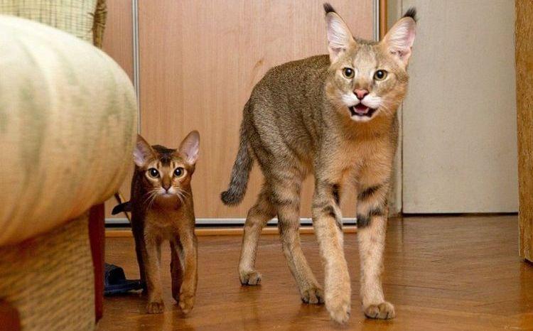 Камышовые кошки