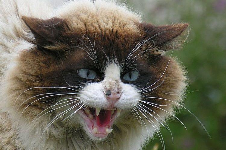 Самая злая порода кошек